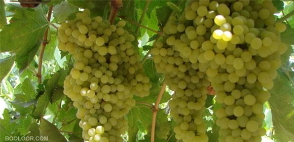 نهال انگور نباتی