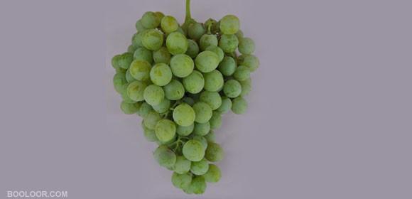 نهال انگور لوغن