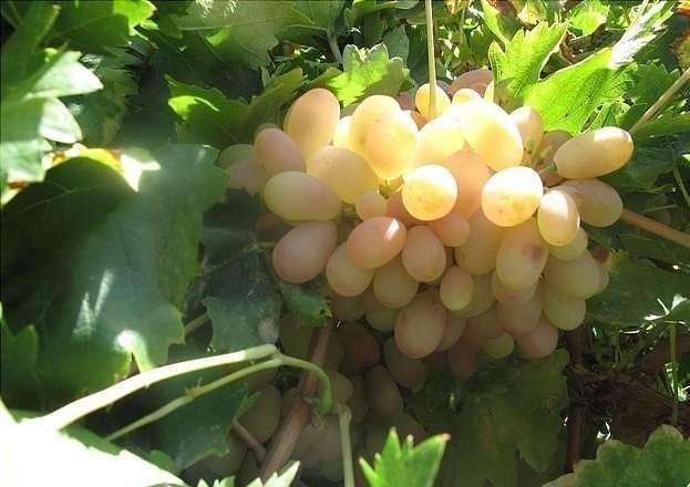 نهال انگور دم خروسی