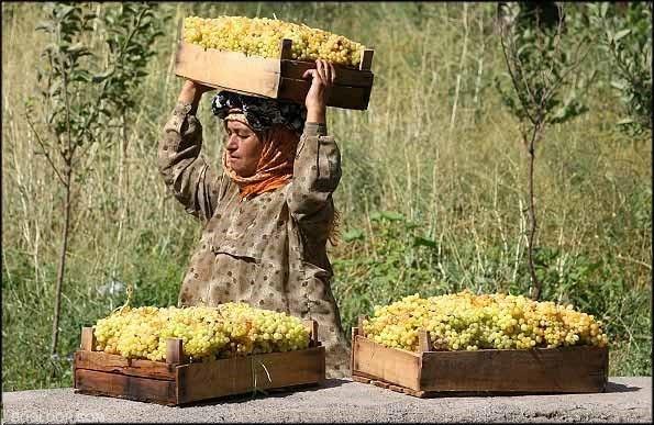 نهال انگور رزاقی شیرازی
