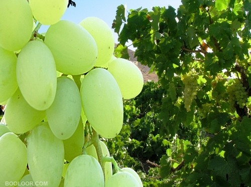 نهال انگور عسگری