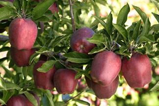 نهال سیب قرمز فرانسه