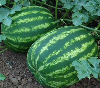 بذر هندوانه b34