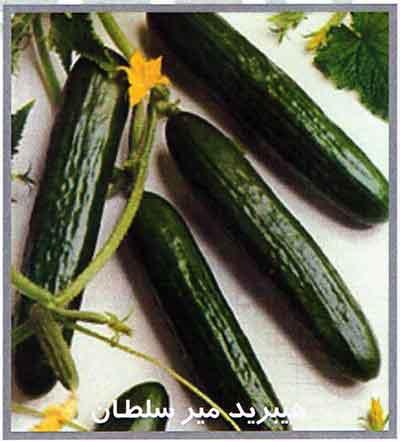بذر خیار