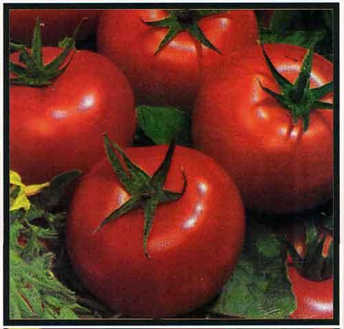 گوجه فرنگی هیبرید