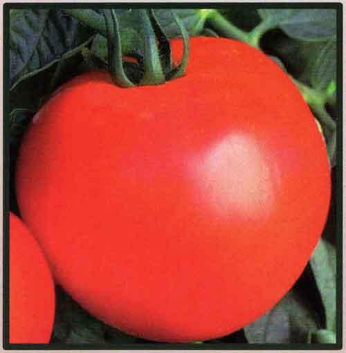 گوجه فرنگی سی اچ