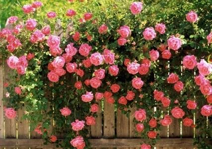 رایحه ی گل